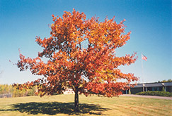 Red Oak (Quercus rubra) at Vandermeer Nursery