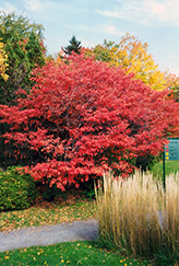 Shadblow Serviceberry (Amelanchier canadensis) at Vandermeer Nursery