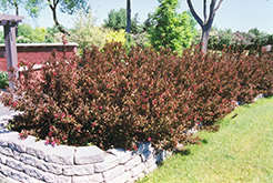 Wine and Roses® Weigela (Weigela florida 'Alexandra') at Vandermeer Nursery