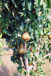Bosc Pear (Pyrus communis 'Bosc') at Vandermeer Nursery