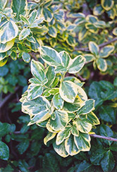 E.T. Gold Wintercreeper (Euonymus fortunei 'E.T. Gold') at Vandermeer Nursery