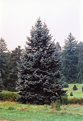 Hoopsii Blue Spruce (Picea pungens 'Hoopsii') at Vandermeer Nursery