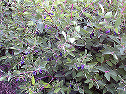 Berry Blue Honeyberry (Lonicera caerulea 'Berry Blue') at Vandermeer Nursery
