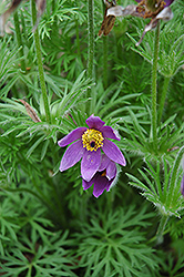 Pasqueflower (Pulsatilla vulgaris) at Vandermeer Nursery