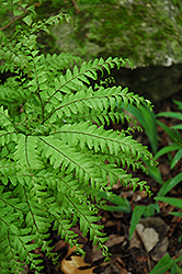 Northern Maidenhair Fern (Adiantum pedatum) at Vandermeer Nursery