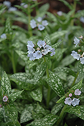 Opal Lungwort (Pulmonaria 'Opal') at Vandermeer Nursery