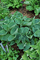 Love Pat Hosta (Hosta 'Love Pat') at Vandermeer Nursery