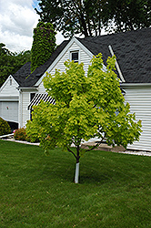 Princeton Gold Maple (Acer platanoides 'Princeton Gold') at Vandermeer Nursery