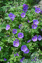 Johnson's Blue Cranesbill (Geranium 'Johnson's Blue') at Vandermeer Nursery