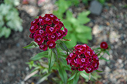 Sweet William (Dianthus barbatus) at Vandermeer Nursery