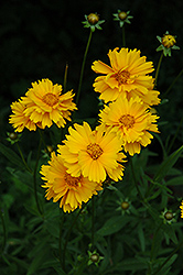 Early Sunrise Tickseed (Coreopsis 'Early Sunrise') at Vandermeer Nursery