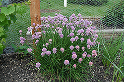 Chives (Allium schoenoprasum) at Vandermeer Nursery