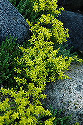 Six Row Stonecrop (Sedum sexangulare) at Vandermeer Nursery
