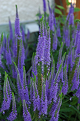 Sunny Border Blue Speedwell (Veronica 'Sunny Border Blue') at Vandermeer Nursery