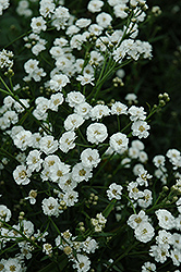 The Pearl Yarrow (Achillea ptarmica 'The Pearl') at Vandermeer Nursery