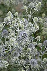 Alpine Sea Holly (Eryngium alpinum) at Vandermeer Nursery