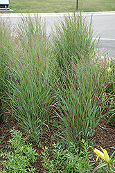 Shenandoah Reed Switch Grass (Panicum virgatum 'Shenandoah') at Vandermeer Nursery