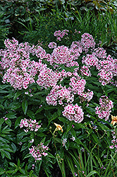 Bright Eyes Garden Phlox (Phlox paniculata 'Bright Eyes') at Vandermeer Nursery