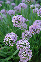 Lavender Globe Onion (Allium tanguticum) at Vandermeer Nursery