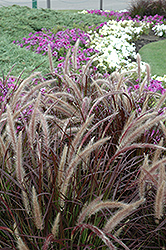 Purple Fountain Grass (Pennisetum setaceum 'Rubrum') at Vandermeer Nursery