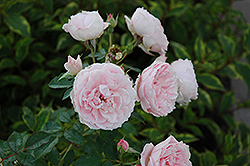 Morden Blush Rose (Rosa 'Morden Blush') at Vandermeer Nursery