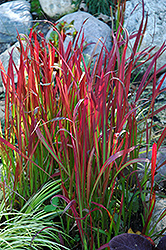 Red Baron Japanese Blood Grass (Imperata cylindrica 'Red Baron') at Vandermeer Nursery