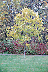 Kentucky Coffeetree (Gymnocladus dioicus) at Vandermeer Nursery