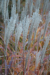 Flame Grass (Miscanthus sinensis 'Purpurascens') at Vandermeer Nursery