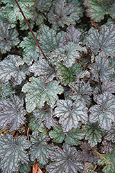 Frosted Violet Coral Bells (Heuchera 'Frosted Violet') at Vandermeer Nursery