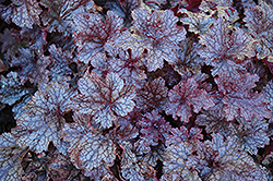 Plum Pudding Coral Bells (Heuchera 'Plum Pudding') at Vandermeer Nursery