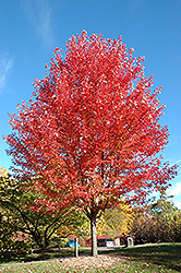 Autumn Blaze Maple (Acer x freemanii 'Jeffersred') at Vandermeer Nursery