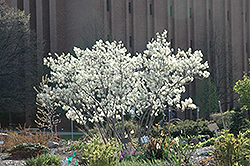 Autumn Brilliance Serviceberry (Amelanchier x grandiflora 'Autumn Brilliance') at Vandermeer Nursery