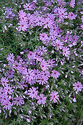 Fort Hill Moss Phlox (Phlox subulata 'Fort Hill') at Vandermeer Nursery