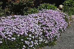 Emerald Blue Moss Phlox (Phlox subulata 'Emerald Blue') at Vandermeer Nursery