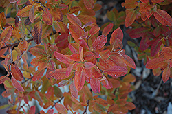 Rainbow Pillar Serviceberry (Amelanchier canadensis 'Glennform') at Vandermeer Nursery