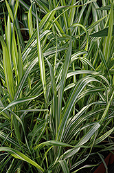 Strawberries And Cream Ribbon Grass (Phalaris arundinacea 'Strawberries And Cream') at Vandermeer Nursery