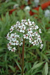 Umbrella Plant (Darmera peltata) at Vandermeer Nursery