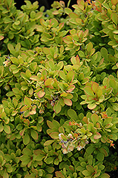 Sunsation Japanese Barberry (Berberis thunbergii 'Sunsation') at Vandermeer Nursery