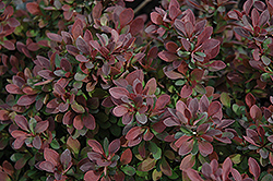 Royal Burgundy Japanese Barberry (Berberis thunbergii 'Gentry') at Vandermeer Nursery