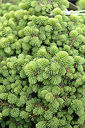 Little Gem Spruce (Picea abies 'Little Gem') at Vandermeer Nursery