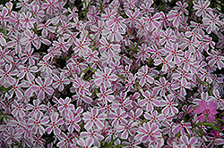 Candy Stripe Moss Phlox (Phlox subulata 'Candy Stripe') at Vandermeer Nursery