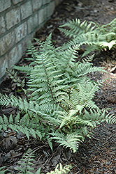 Ghost Fern (Athyrium 'Ghost') at Vandermeer Nursery