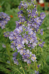 Heavenly Habit Jacob's Ladder (Polemonium boreale 'Heavenly Habit') at Vandermeer Nursery