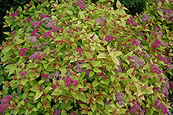 Magic Carpet Spirea (Spiraea x bumalda 'Magic Carpet') at Vandermeer Nursery