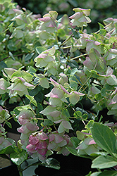 Kent Beauty Oregano (Origanum rotundifolium 'Kent Beauty') at Vandermeer Nursery