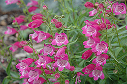 Red Rocks Beard Tongue (Penstemon x mexicali 'Red Rocks') at Vandermeer Nursery