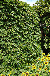 Boston Ivy (Parthenocissus tricuspidata) at Vandermeer Nursery