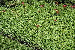 John Creech Stonecrop (Sedum spurium 'John Creech') at Vandermeer Nursery