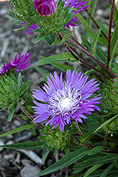 Honeysong Purple Aster (Stokesia laevis 'Honeysong Purple') at Vandermeer Nursery