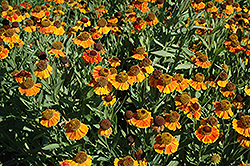 Sahin's Early Flowerer Sneezeweed (Helenium 'Sahin's Early Flowerer') at Vandermeer Nursery